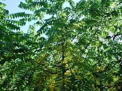 Ořešák černý - Juglans nigra