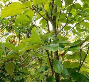 Jeřáb muk 'Gigantea' - Sorbus aria 'Gigantea'