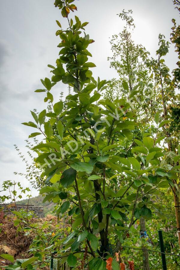 Jeřáb muk - Sorbus aria 'Gigantea'