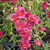 Devaterník 'Cerise Queen' - Helianthemum 'Cerise Queen'
