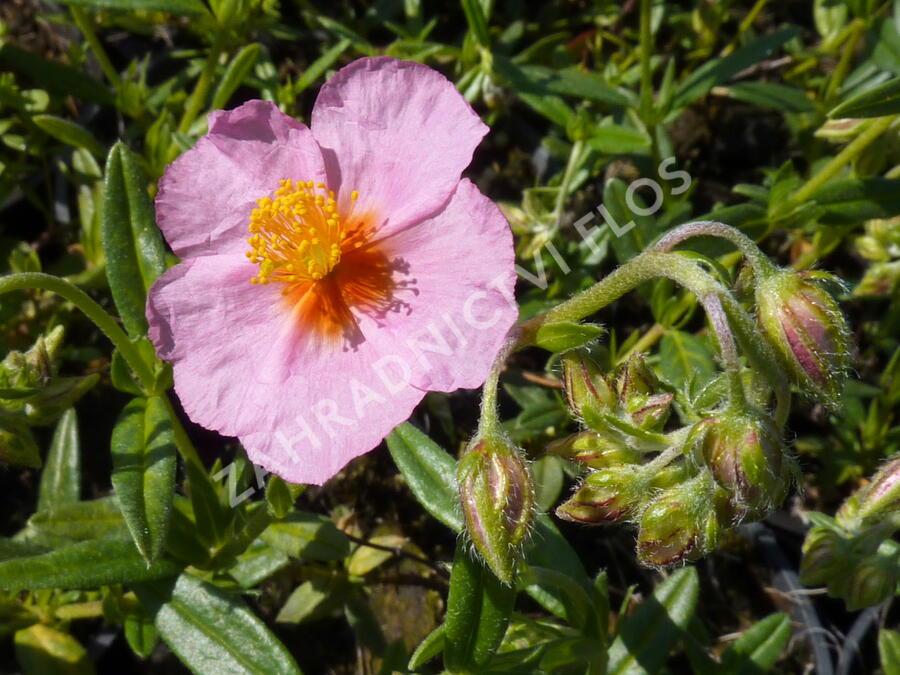 Devaterník 'Wisley Pink' - Helianthemum 'Wisley Pink'