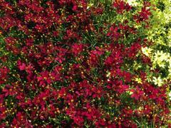 Krásnoočko přeslenité 'Red Satin' - Coreopsis verticillata 'Red Satin'