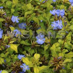 Olověnec Willmotův 'Forest Blue' - Ceratostigma willmottianum 'Forest Blue'