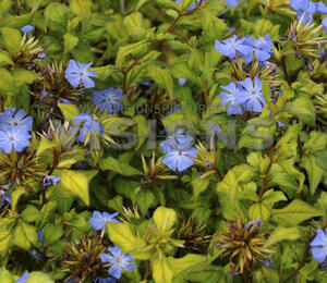 Olověnec Willmotův 'Forest Blue' - Ceratostigma willmottianum 'Forest Blue'