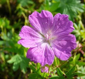 Kakost krvavý 'Vision' - Geranium sanguineum 'Vision'