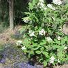 Kalina 'Alleghany' - Viburnum rhytidophylloides 'Alleghany'