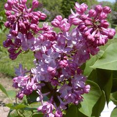 Šeřík obecný 'Belle de Nancy' - Syringa vulgaris 'Belle de Nancy'