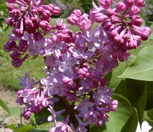 Šeřík obecný 'Belle de Nancy' - Syringa vulgaris 'Belle de Nancy'