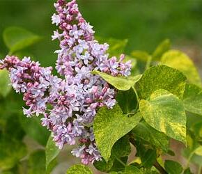 Šeřík obecný 'Aucubaefolia' - Syringa vulgaris 'Aucubaefolia'