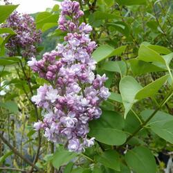 Šeřík hyacintokvětý 'Maiden's Blush' - Syringa hyacinthiflora 'Maiden's Blush'