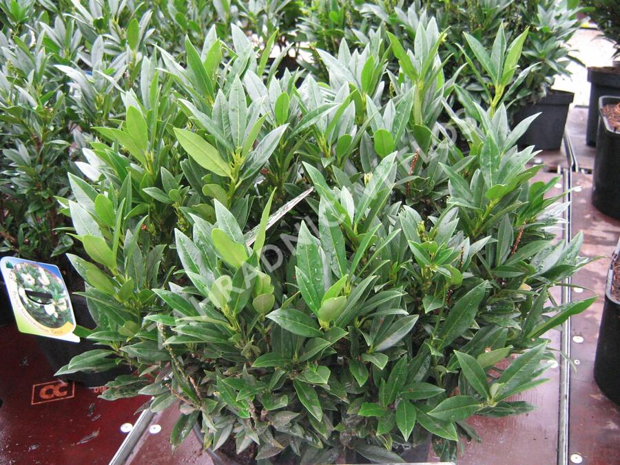 Bobkovišeň lékařská 'Gajo' - Prunus laurocerasus 'Gajo'