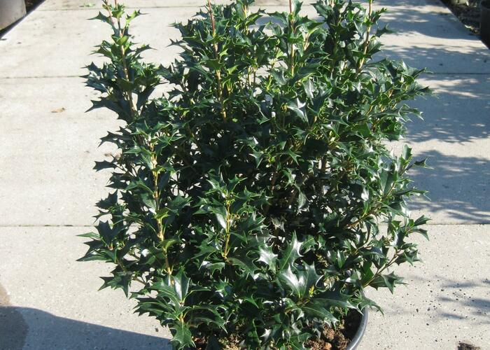 Vonokvětka různolistá - Osmanthus heterophyllus