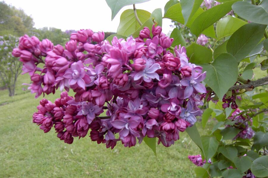 Šeřík obecný 'Paul Thirion' - Syringa vulgaris 'Paul Thirion'