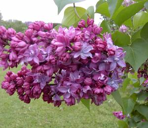 Šeřík obecný 'Paul Thirion' - Syringa vulgaris 'Paul Thirion'