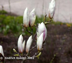 Šácholan Soulangeanův 'Speciosa' - Magnolia soulangeana 'Speciosa'