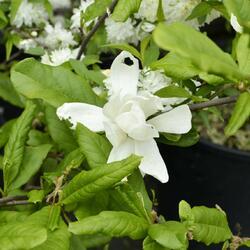 Šácholan Loebnerův 'Merrill' - Magnolia loebneri 'Merrill'
