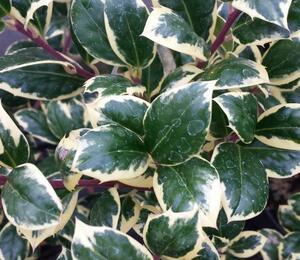 Cesmína obecná 'Silver van Tol' - Ilex aquifolium 'Silver van Tol'