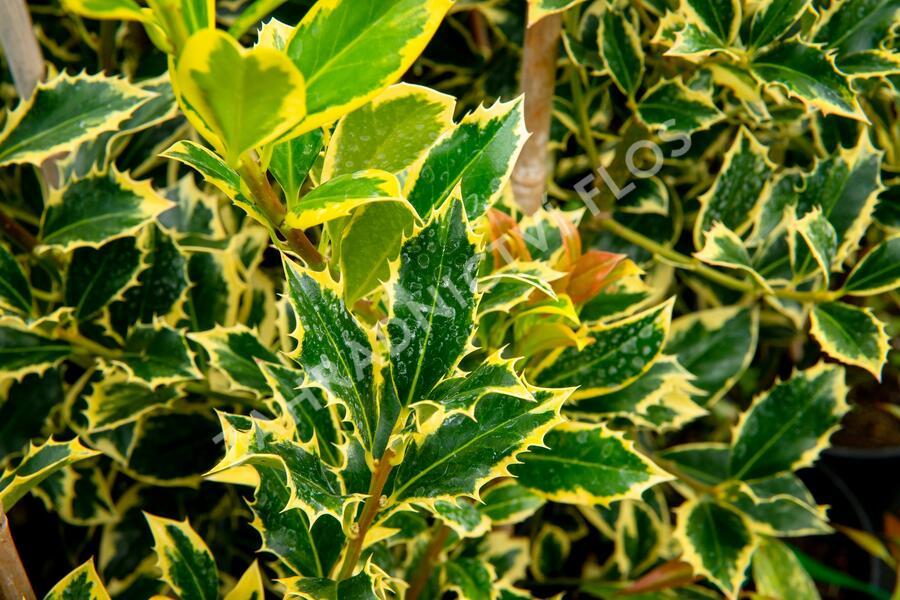 Cesmína obecná 'Pyramidalis Aurea' - Ilex aquifolium 'Pyramidalis Aurea'