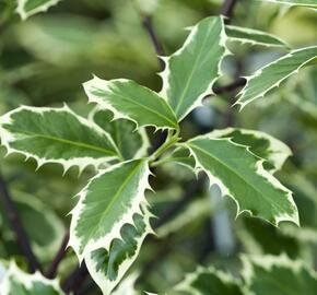 Cesmína obecná 'Handsworth New Silver' - Ilex aquifolium 'Handsworth New Silver'