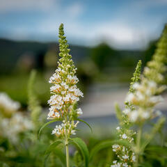Motýlí keř, Komule Davidova 'Marbled White' - Buddleia davidii 'Marbled White'