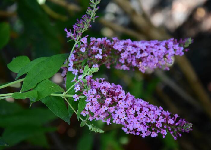 Motýlí keř, Komule Davidova 'Charming' - Buddleia davidii 'Charming'