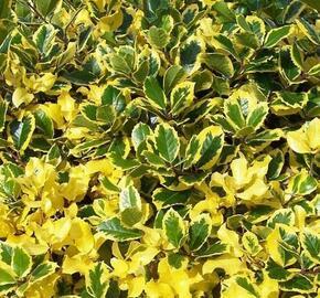 Cesmína obecná 'Golden van Tol' - Ilex aquifolium 'Golden van Tol'