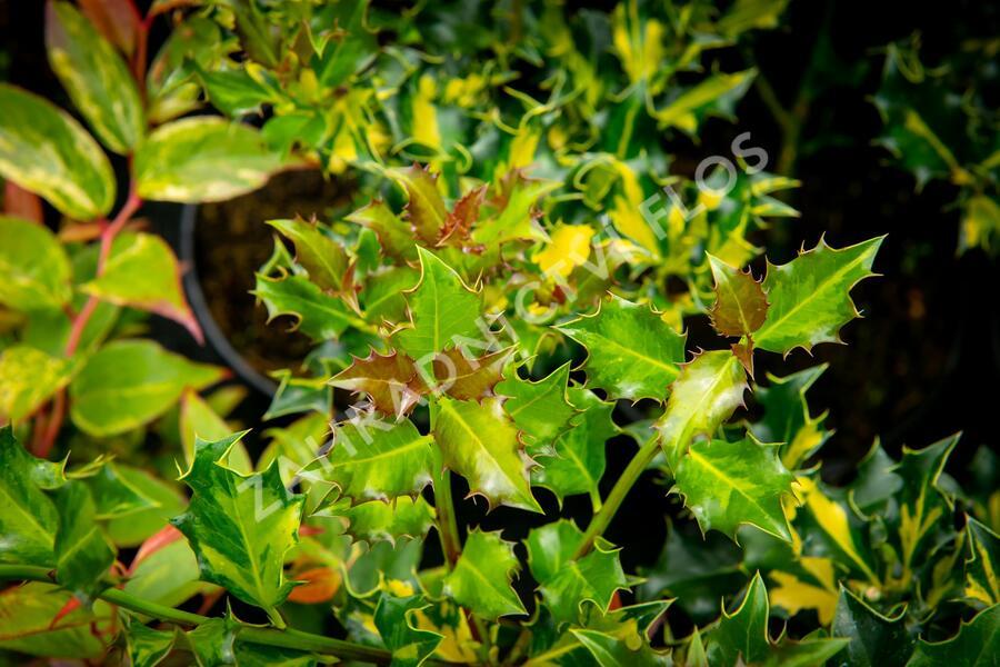 Cesmína obecná 'Golden Milkboy' - Ilex aquifolium 'Golden Milkboy'