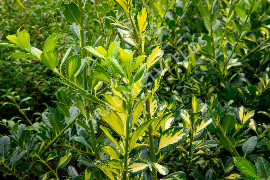 Cesmína obecná 'Gold Flash' - Ilex aquifolium 'Gold Flash'