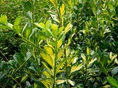 Cesmína obecná 'Gold Flash' - Ilex aquifolium 'Gold Flash'