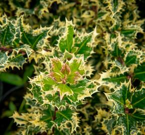 Cesmína obecná 'Ferox Argentea' - Ilex aquifolium 'Ferox Argentea'