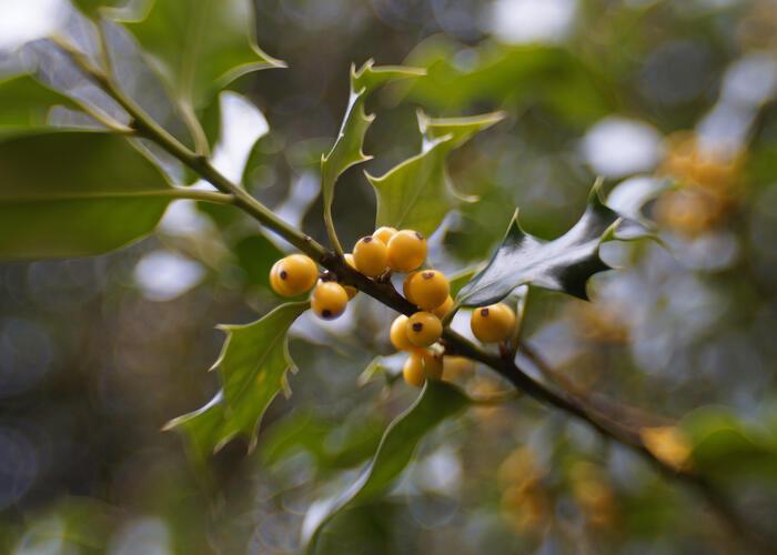 Cesmína obecná 'Bacciflava' - Ilex aquifolium 'Bacciflava'