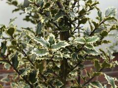 Cesmína obecná 'Argenteomarginata' - Ilex aquifolium 'Argenteomarginata'