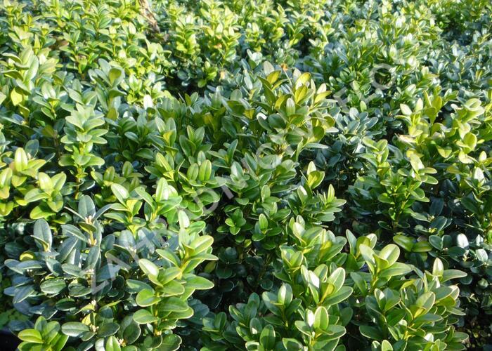Zimostráz obecný 'Blauer Heinz' - Buxus sempervirens 'Blauer Heinz'