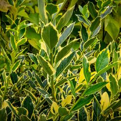 Cesmína altaklarenská 'Belgica Aurea' - Ilex altaclerensis 'Belgica Aurea'