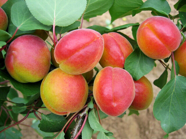 Meruňka pozdní 'Harogem' - Prunus armeniaca 'Harogem'