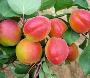 Meruňka - pozdní 'Harogem' - Prunus armeniaca 'Harogem'