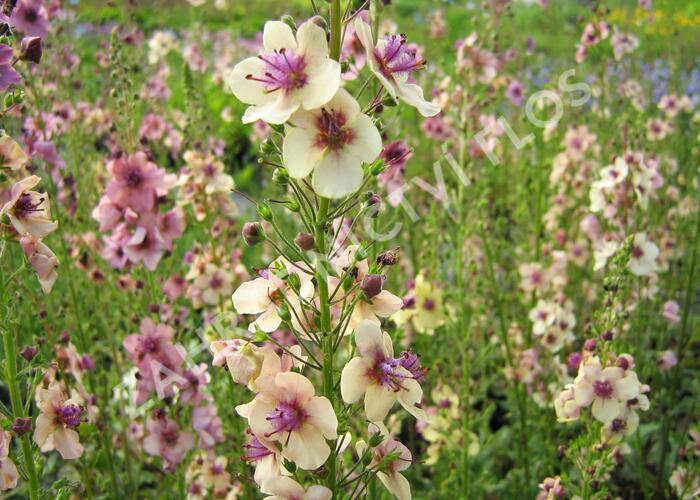 Divizna brunátná 'Southern Charm' - Verbascum phoeniceum 'Southern Charm'