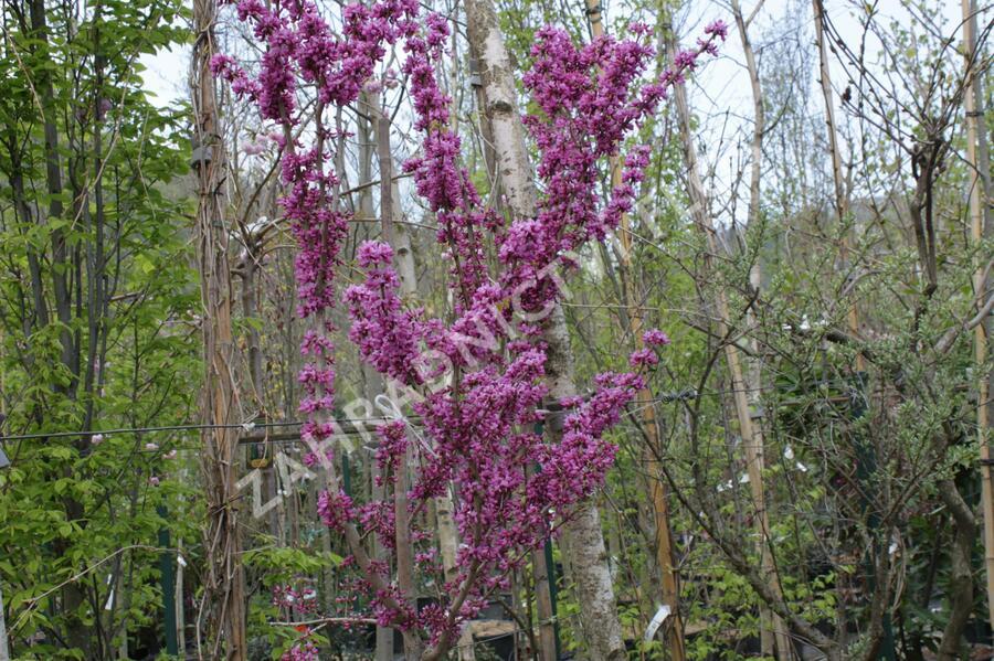 Zmarlika čínská 'Avondale' - Cercis chinensis 'Avondale'
