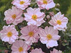 Sasanka 'Lorelei' - Anemone hupehensis 'Lorelei'