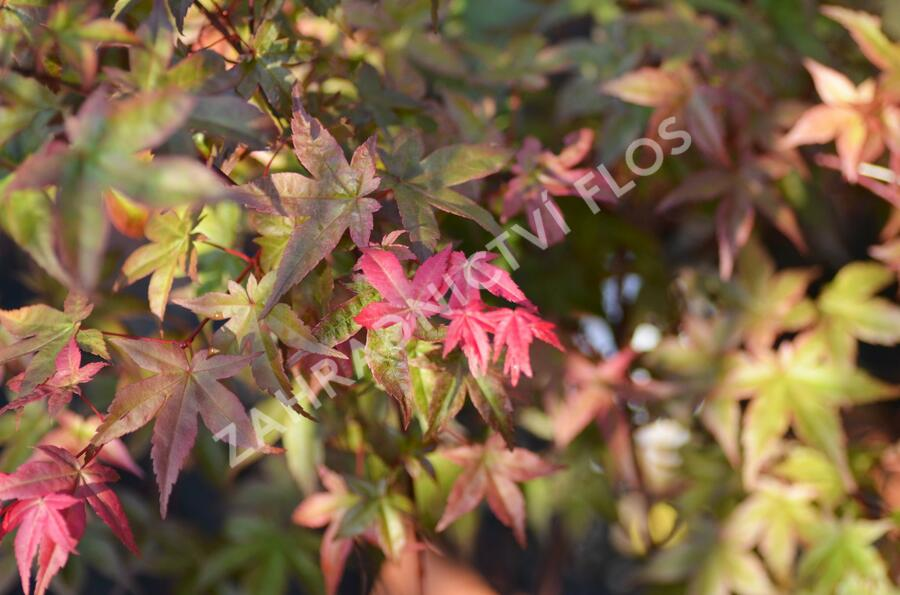 Javor dlanitolistý 'Beni Maiko' - Acer palmatum 'Beni Maiko'