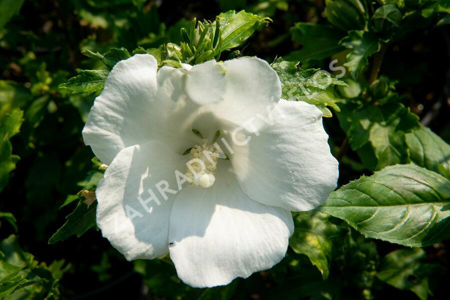 Ibišek syrský 'Totus Albus' - Hibiscus syriacus 'Totus Albus'