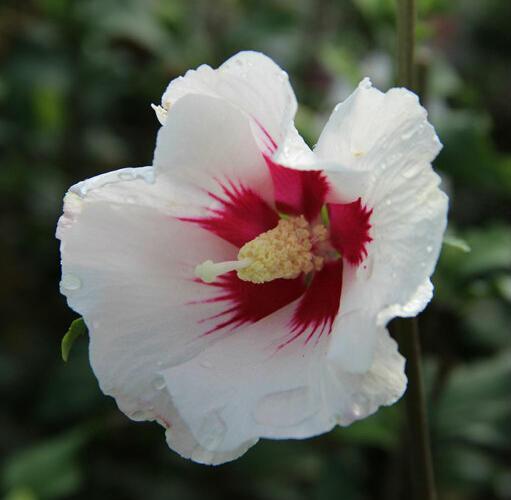 Ibišek syrský 'Shintaeyang' - Hibiscus syriacus 'Shintaeyang'