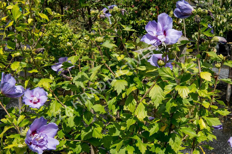 Ibišek syrský 'Blue Chiffon' - Hibiscus syriacus 'Blue Chiffon'