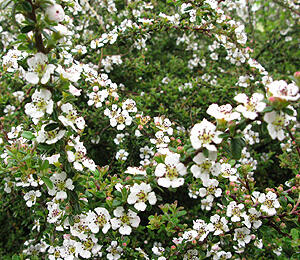 Skalník 'Decorus' - Cotoneaster conspicuus 'Decorus'