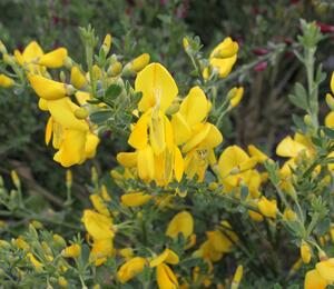 Čilimník 'Golden Sunlight' - Cytisus 'Golden Sunlight'
