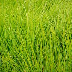 Metlice trsnatá 'Tardiflora' - Deschampsia caespitosa 'Tardiflora'