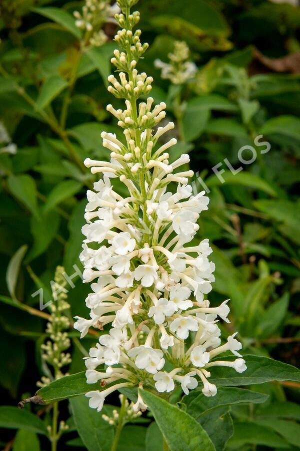 Motýlí keř, Komule Davidova 'Argus White' - Buddleia davidii 'Argus White'