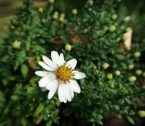 Hvězdnice keříčkovitá 'Niobe' - Aster dumosus 'Niobe'