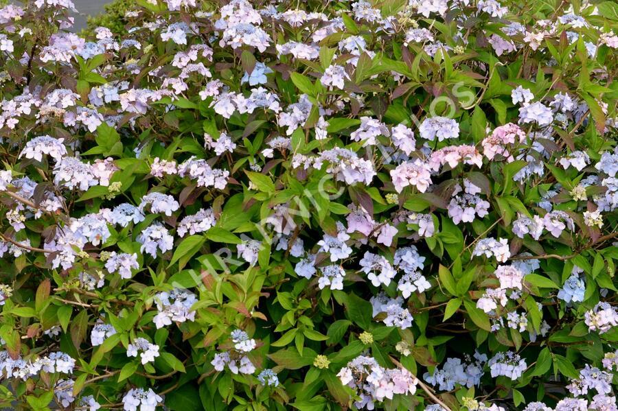 Hortenzie pilovitá 'Bluebird' - Hydrangea serrata 'Bluebird'