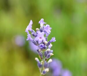 Levandule úzkolistá 'Dwarf Blue' - Lavandula angustifolia 'Dwarf Blue'